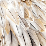 Close up of Bird Feathers